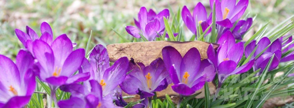 Eine kleine, angekokelte Schatzkarte steckt zwischen lilafarbenen Krokussen.