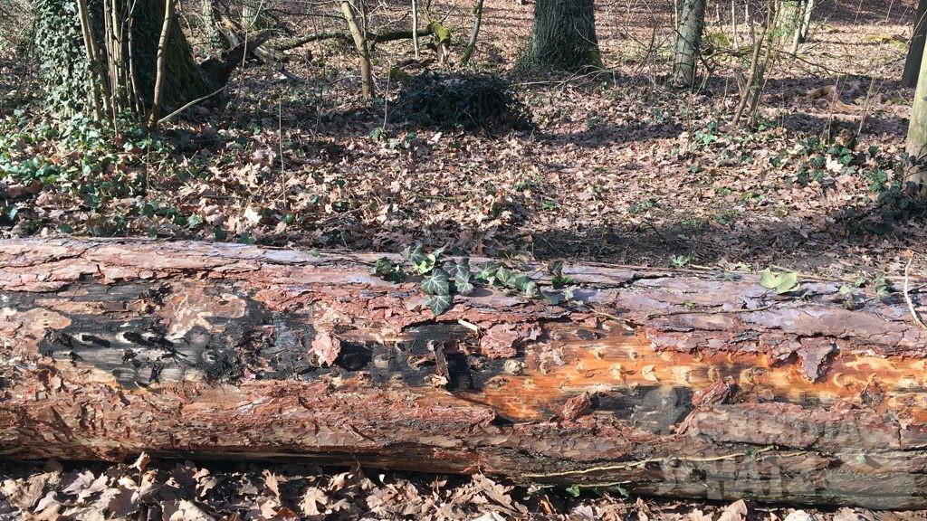 Ein liegender Baumstamm im Wald, auf dem schon Efeu wächst. In der abplatzenden Rinde steckt eine kleine Papierrolle.